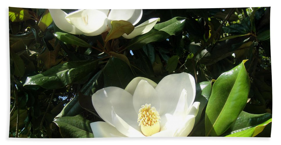 White Magnolia Beach Towel featuring the photograph White Magnolia Flowers 01 by Sofia Metal Queen