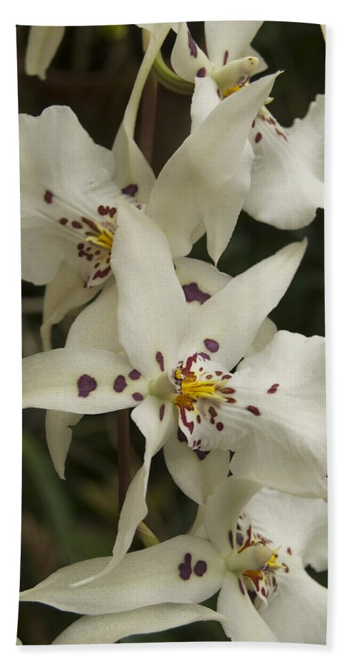 White Beach Towel featuring the photograph White Orchids 2 by Michael Peychich