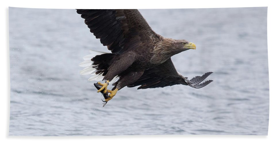 White-tailed Eagle Beach Towel featuring the photograph White-tailed Eagle With Catch by Peter Walkden