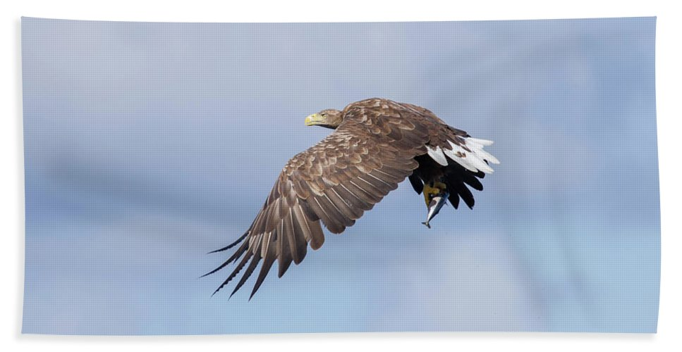 White-tailed Eagle Beach Towel featuring the photograph White-tailed Eagle With Lunch by Peter Walkden
