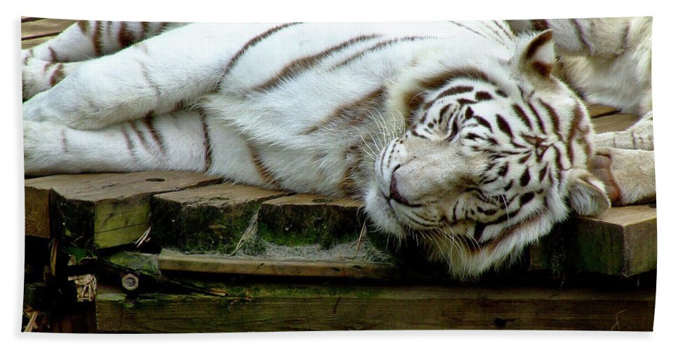 Tiger.white Tiger Beach Towel featuring the photograph White Tiger by Frances Ann Hattier