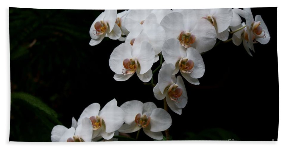 Phylanopsis Orchid Beach Towel featuring the photograph White Velvet by Joanne Smoley