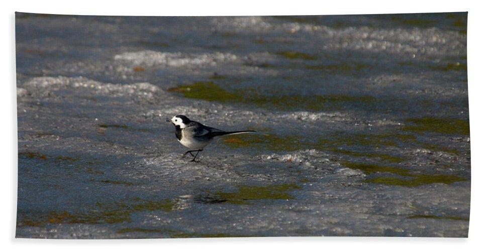 Lehtokukka Beach Towel featuring the photograph White Wagtail 3 by Jouko Lehto