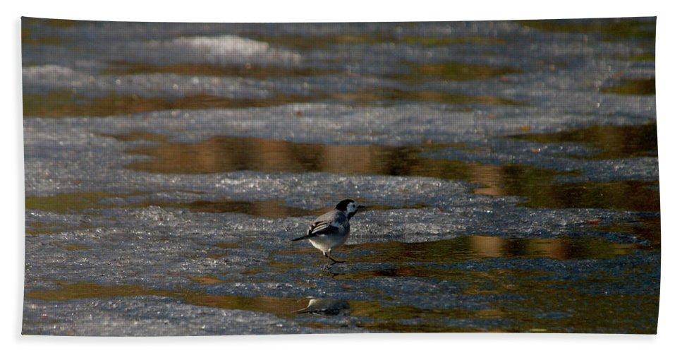 Lehtokukka Beach Towel featuring the photograph White Wagtail 4 by Jouko Lehto