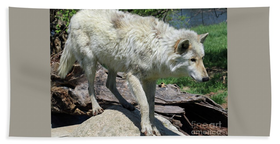 Wolf Beach Towel featuring the photograph White Wolf 1 by Steve Gass