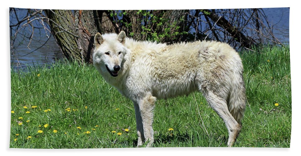 Wolf Beach Towel featuring the photograph White Wolf 2 by Steve Gass