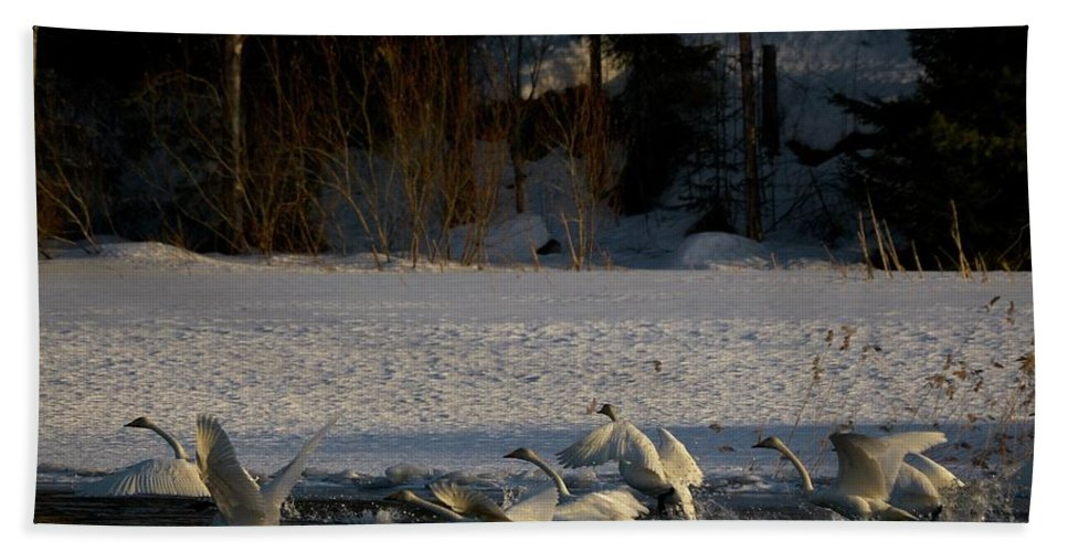 Lehtokukka Beach Towel featuring the photograph Whooper Swan Nr 13 by Jouko Lehto