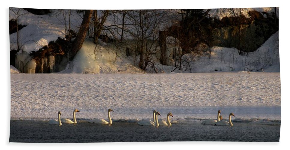 Lehtokukka Beach Towel featuring the photograph Whooper Swan Nr 14 by Jouko Lehto