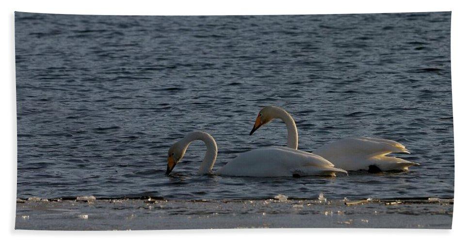 Lehtokukka Beach Towel featuring the photograph Whooper Swan Nr 2 by Jouko Lehto