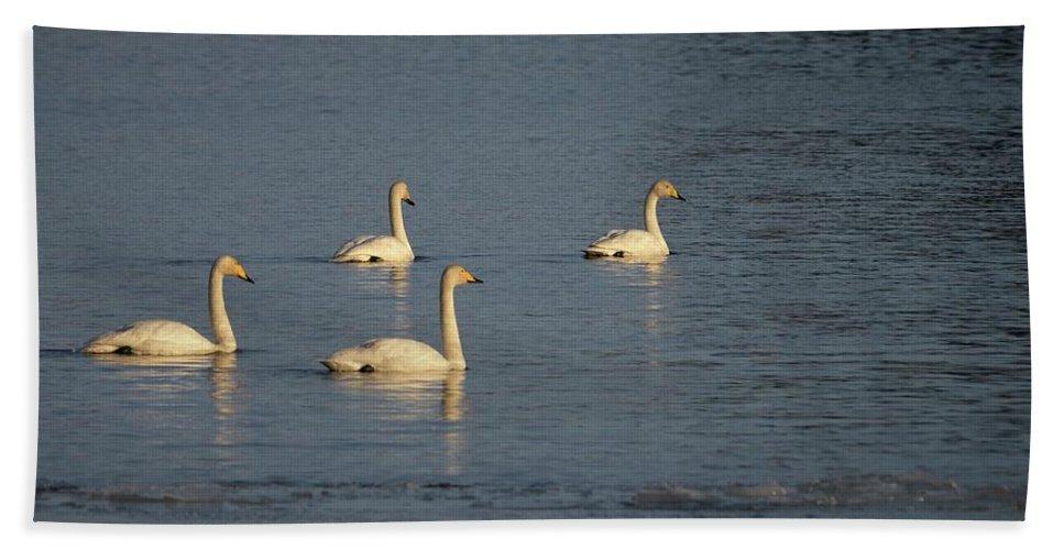 Lehtokukka Beach Towel featuring the photograph Whooper Swan Nr 8 by Jouko Lehto