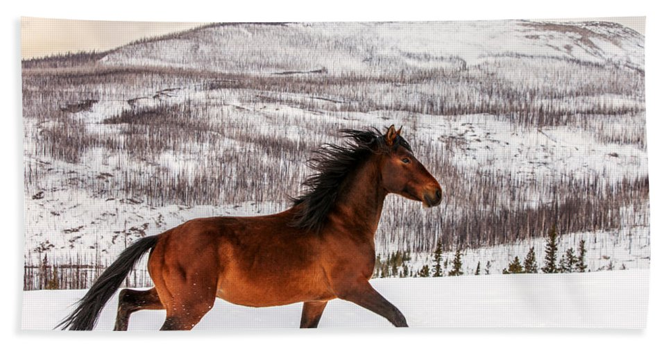 Wild; Horse; Animal; Running; Through; Snow; Mountains; Rocky Mountains; Glacier National Park; Browning; Montana; Mt; Outdoor; Winter; Snow; Snowy; Christmas; Side View; Feral; Wildlife; Stallion; Quarter Horse; Gallop; Galloping; Running; Cute; Beautiful; Blackfeet Nation; Horizontal; Copy Space; Clouds; Sky; Cloudy; Wilderness; Rural; Country; Countryside; Red; Brown; Forest; Action; Equine; Behavior; Wild West; Western; Native American; Nature; Cold; Free Roaming; Beauty; Motion; Best Beach Towel featuring the photograph Wild Horse by Todd Klassy