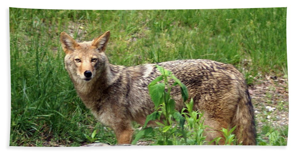 Cpyote Beach Towel featuring the photograph Wiley Coyote by Marty Koch