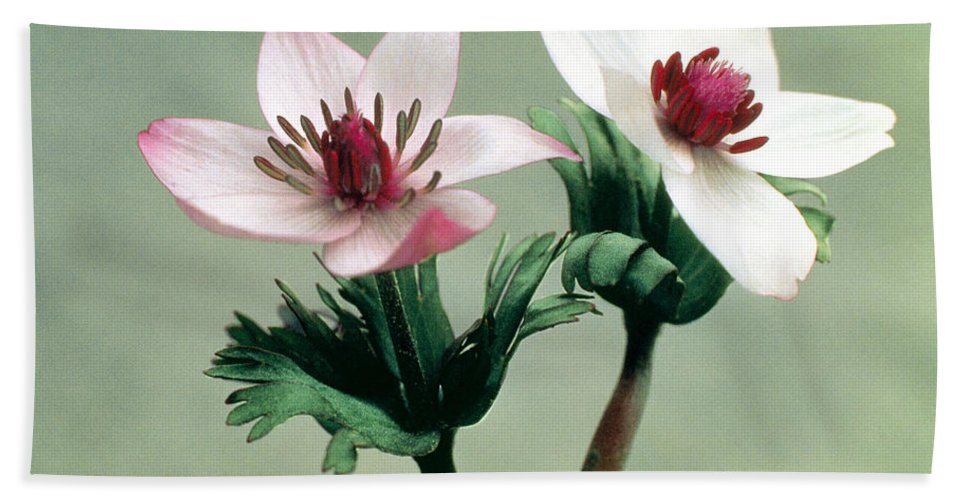 Flower Beach Towel featuring the photograph Wood Anemone by American School