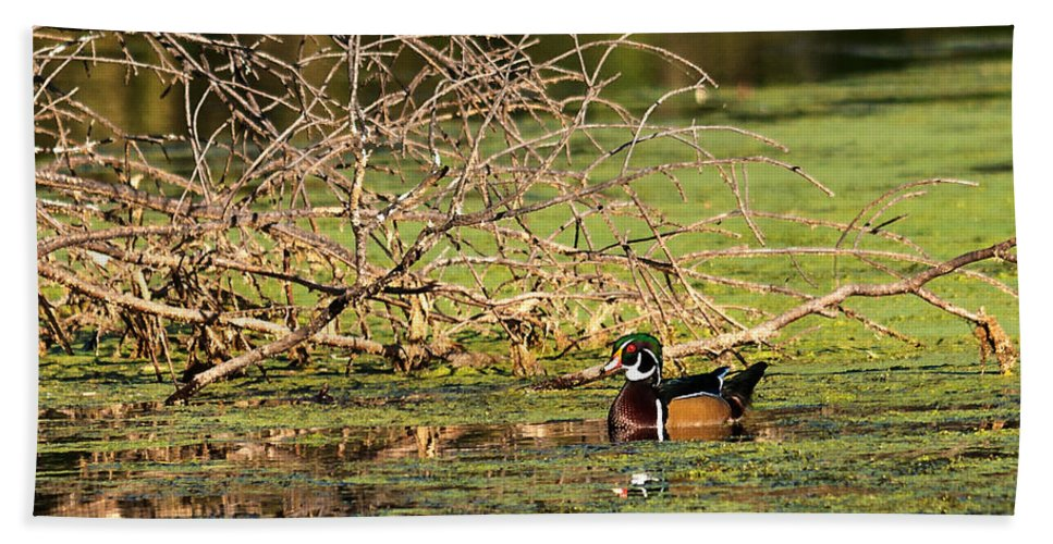 Heron Heaven Beach Towel featuring the photograph Wood Duck In The Fall by Edward Peterson