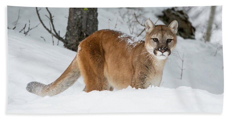 Mountain Lion Beach Towel featuring the photograph Wyoming Wild Cat by Elizabeth Waitinas
