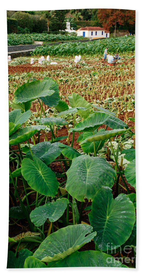 Agriculture Beach Towel featuring the photograph Yams Farm In Azores by Gaspar Avila
