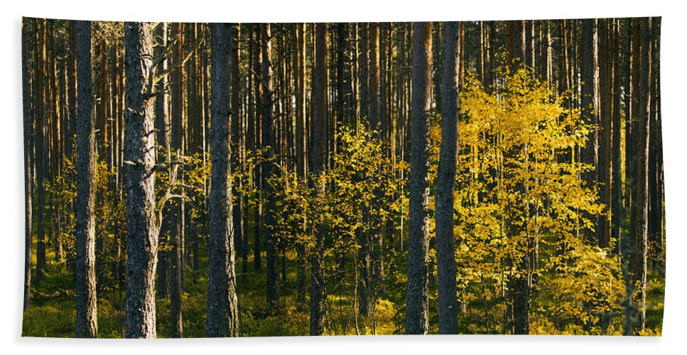 Many Trees Beach Towel featuring the photograph Yellow Autumn Trees In Forest by Sandra Rugina