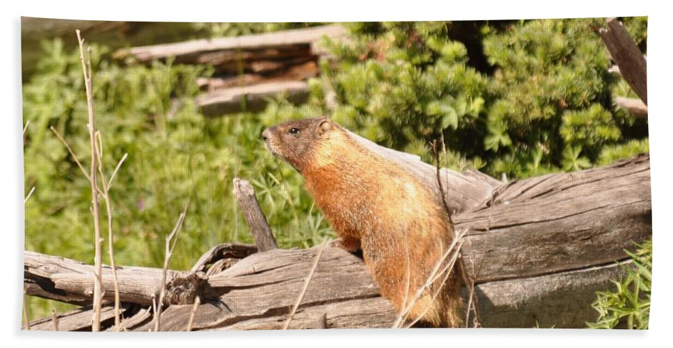 Yellowstone National Park Beach Towel featuring the photograph Yellow Bellied-Marmot by Frank Madia