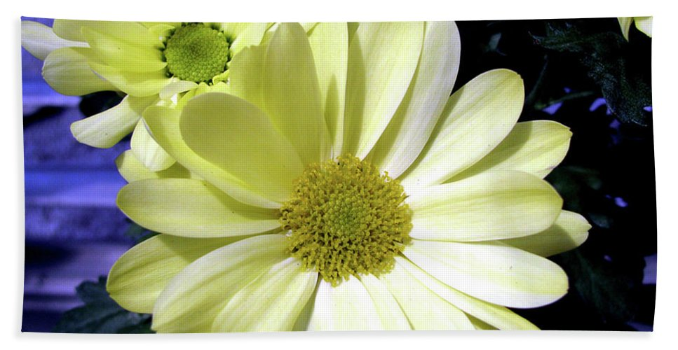 Daisies Beach Towel featuring the photograph Yellow Daisies by Donna Brown