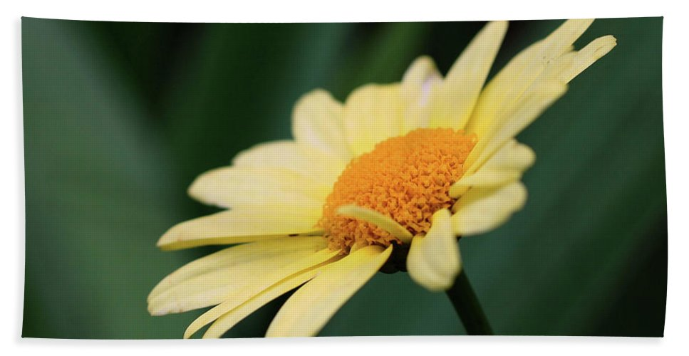 Daisies Beach Towel featuring the photograph Yellow Daisy by Smilin Eyes Treasures