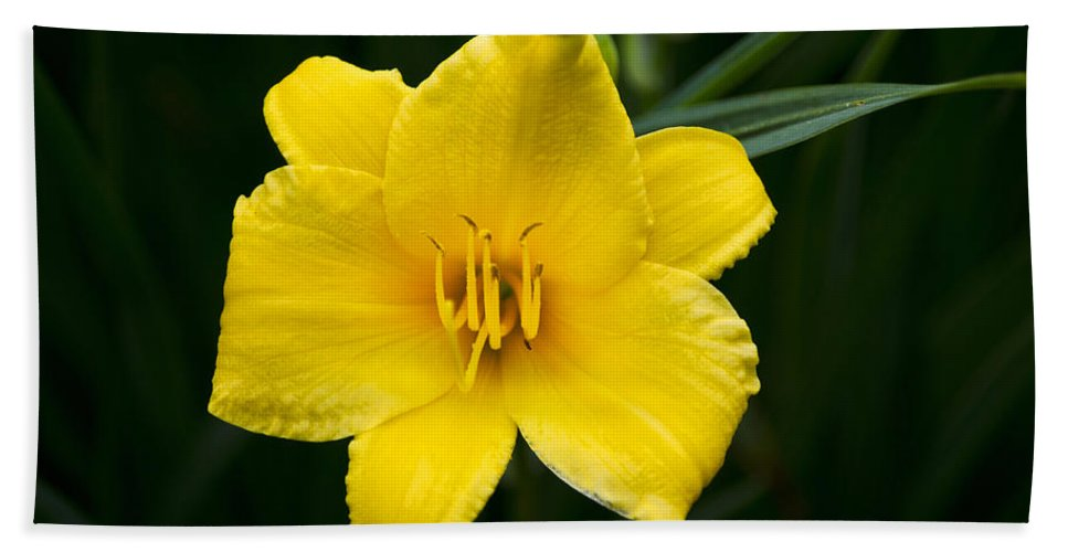 Daylily Beach Towel featuring the photograph Yellow Daylily Flower by Christina Rollo