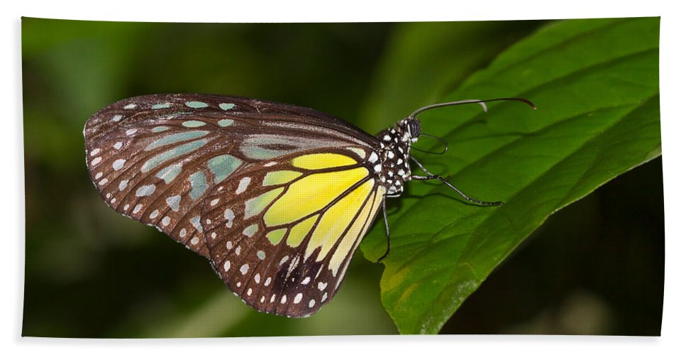 Butterfly Beach Towel featuring the photograph Yellow Glassy Tiger Butterfly by Louise Heusinkveld