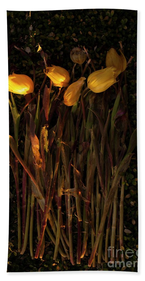 Tulips Beach Towel featuring the photograph Yellow Tulips Decaying At Sunset by Jim Corwin