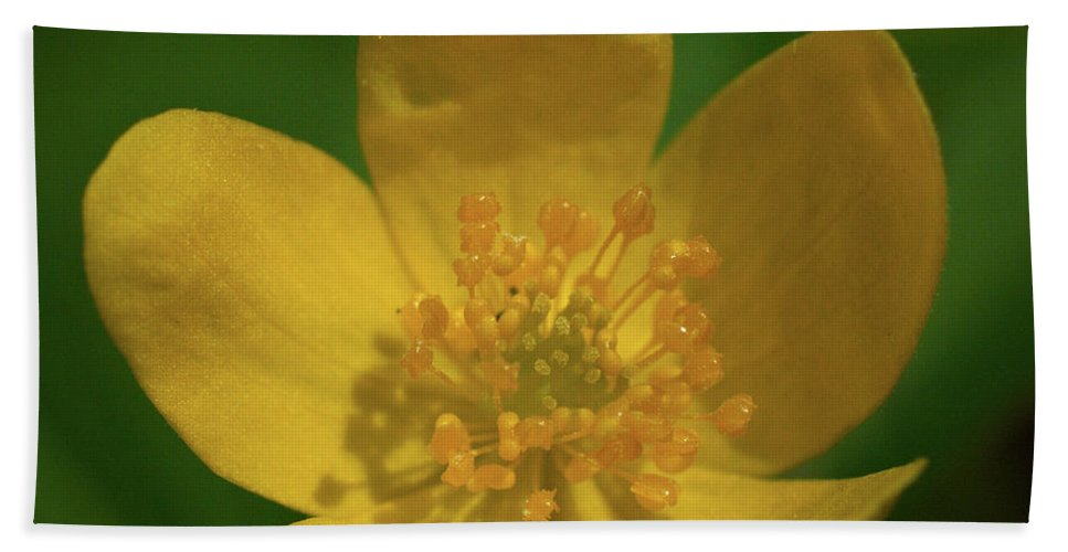 Lehtokukka Beach Towel featuring the photograph Yellow Wood Anemone 1 by Jouko Lehto