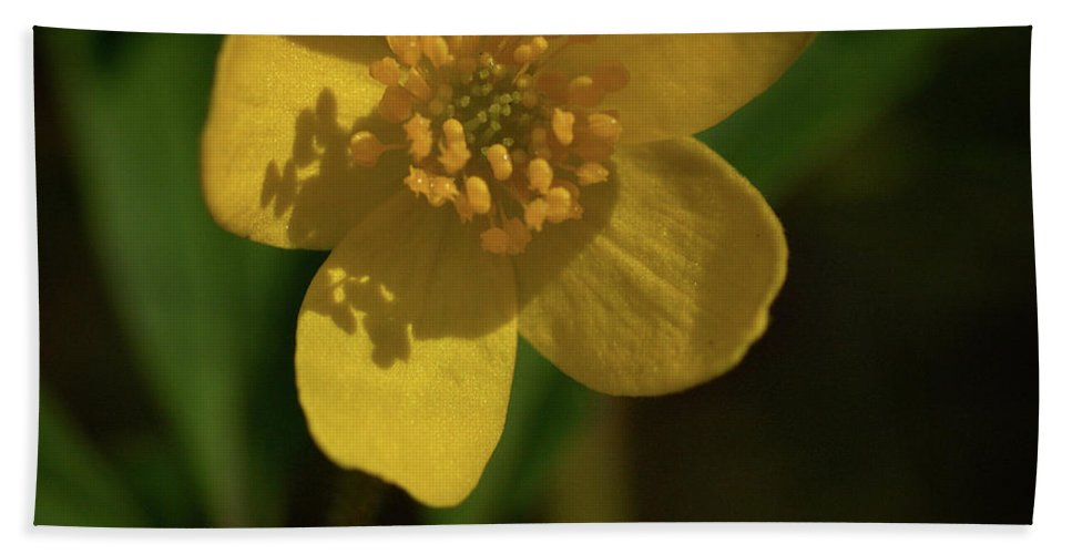 Lehtokukka Beach Towel featuring the photograph Yellow Wood Anemone 3 by Jouko Lehto