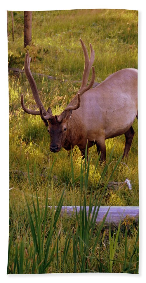 Elk Beach Towel featuring the photograph Yellowstone Bull by Marty Koch