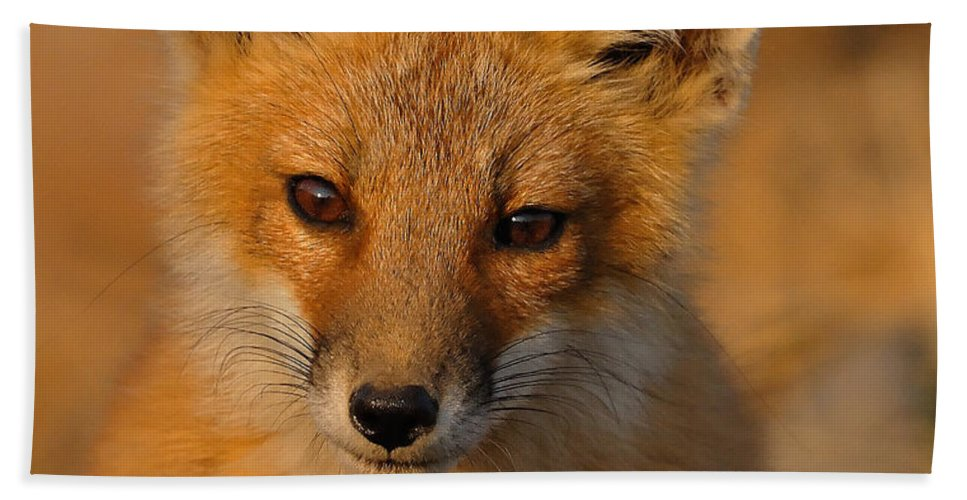 Fox Beach Towel featuring the photograph Young Fox by William Jobes