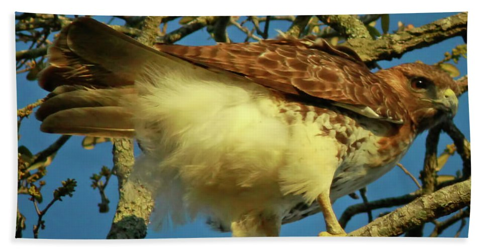 Birds Beach Towel featuring the photograph Young Red-tail by Phill Doherty