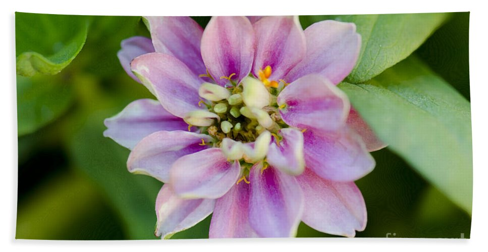 Floral Beach Towel featuring the photograph Zinnia In Pink by Betty LaRue