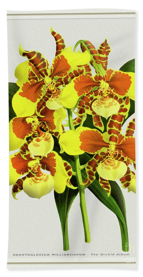 Vintage Beach Towel featuring the drawing Orchid Vintage Print On Tinted Paperboard by Baptiste Posters