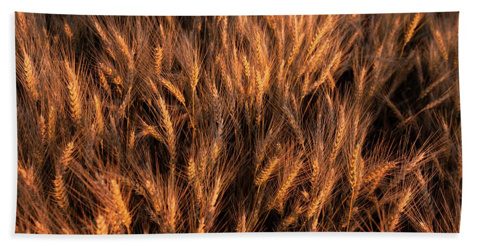 Amber Beach Towel featuring the photograph Amber Heads Of Wheat by Todd Klassy