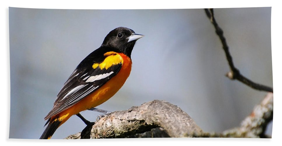 Baltimore Oriole Beach Towel featuring the photograph Baltimore Oriole by Christina Rollo