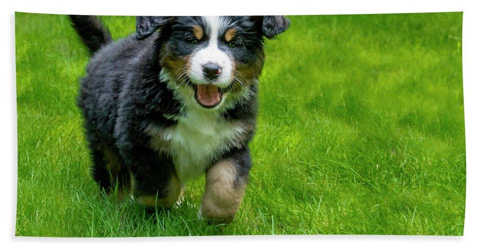Bernese Mountain Dog Puppy Running 2 Beach Sheet
