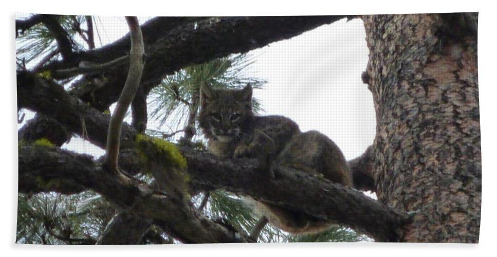 Bobcat Beach Towel featuring the photograph Bobcat Cat Bob In A Tree by Garrett Butler