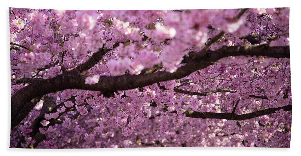 Cherry Beach Towel featuring the photograph Cherry Blossom Tree Panorama by Nicklas Gustafsson