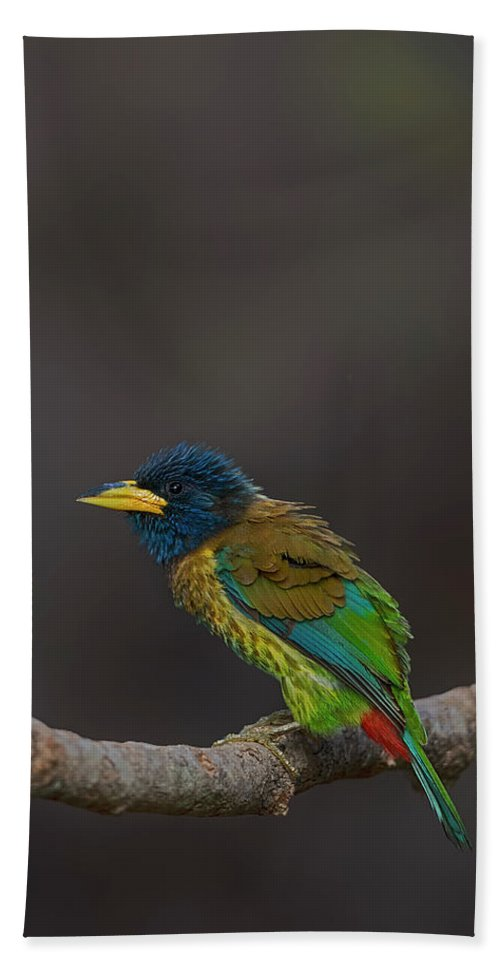Bird Images For Print Beach Towel featuring the photograph Great barbet by Uma Ganesh