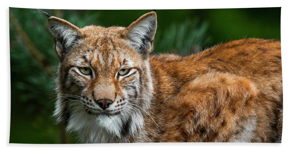 Eurasian Lynx Beach Towel featuring the photograph Lynx by Arterra Picture Library