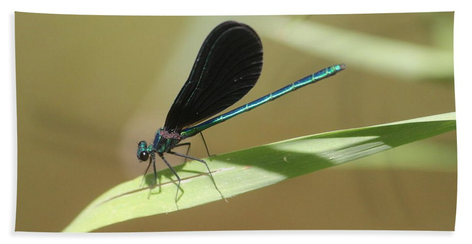 Ebony Jewelwing Beach Towel featuring the photograph Male Ebony Jewelwing by Callen Harty