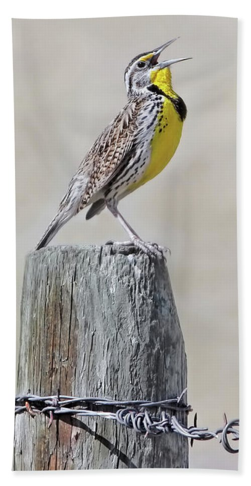 Meadowlark Beach Towel featuring the photograph Montana Meadowlark's Spring Song by Jennie Marie Schell