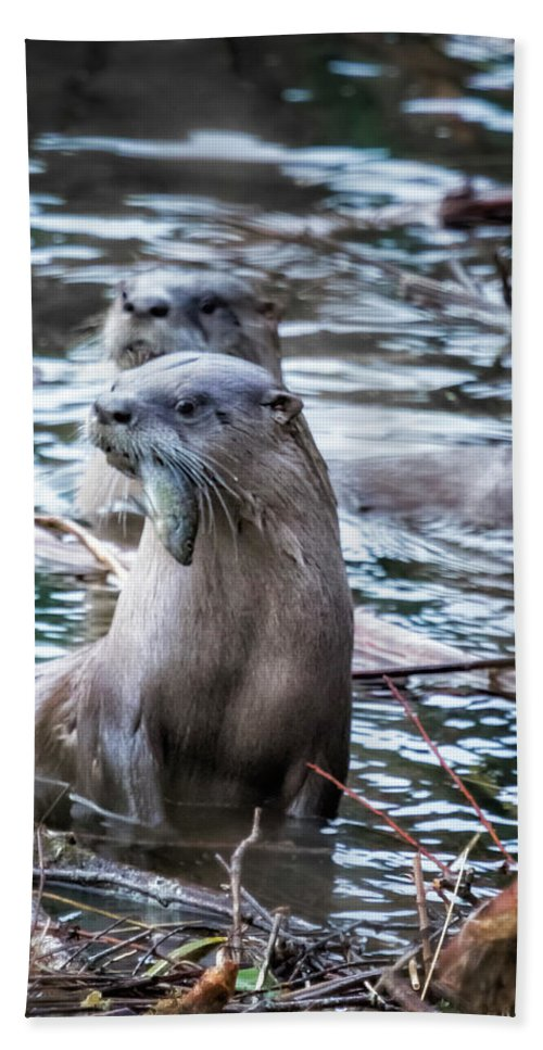 North American River Otter Beach Towel featuring the photograph Otters Having Breakfast On The River by Belinda Greb