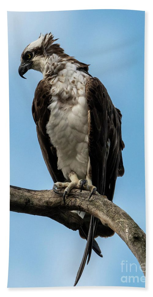 Osprey Beach Towel featuring the photograph Out On A Limb by Mike Dawson