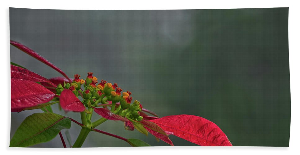 Nature Beach Towel featuring the photograph Poinsettia by Richard Rizzo