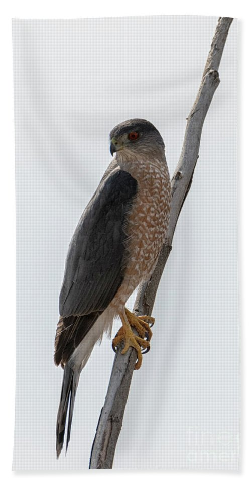 Sharp Shinned Hawk Beach Towel featuring the photograph Ready To Pounce by Mike Dawson