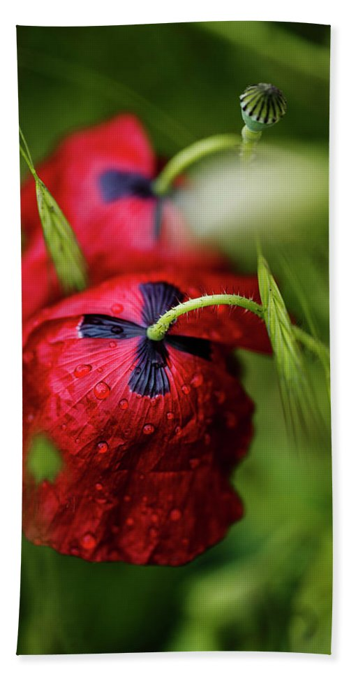 Poppy Beach Towel featuring the photograph Red Corn Poppy Flowers With Dew Drops by Nailia Schwarz