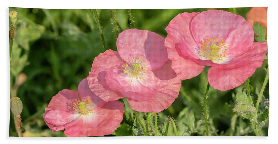 Shirley Poppy Beach Towel featuring the photograph Shirley Poppy 2018-21 by Thomas Young