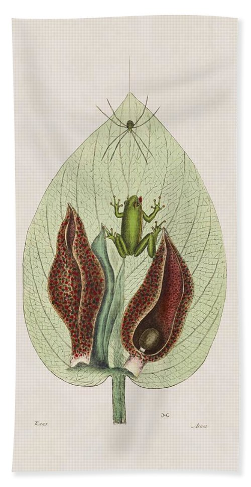 Mark Catesby Beach Towel featuring the painting The Green Tree Frog And The Skunk Weed The Natural History Of Car by Mark Catesby